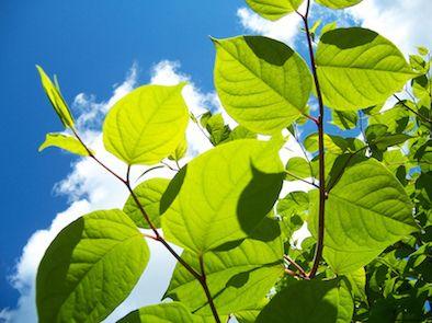 summer-japanese-knotweed